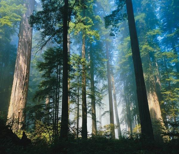лечебные деревья